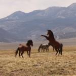 Wild Horses Rearing Stallions. Photo: Ivana Crone